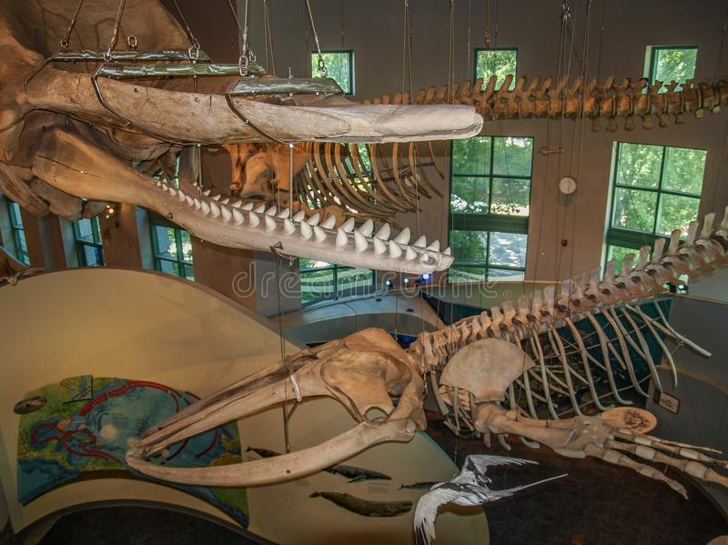 Whale Skeletons in North Carolina Museum of Natural Sciences. The North Carolina Museum of Natural Sciences is located in downtown Raleigh, North Carolina. It is stock photos