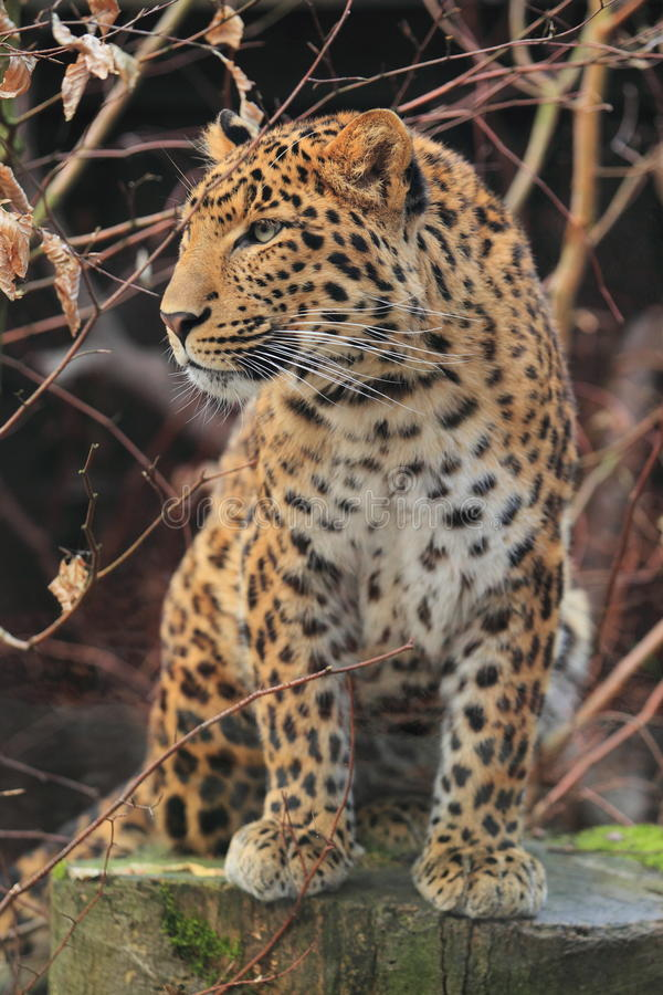 North china leopard. The adult north china leopard sitting on the wood stub royalty free stock photo