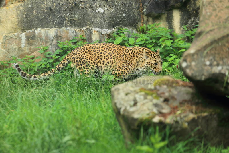North China leopard. On the grass stock photos