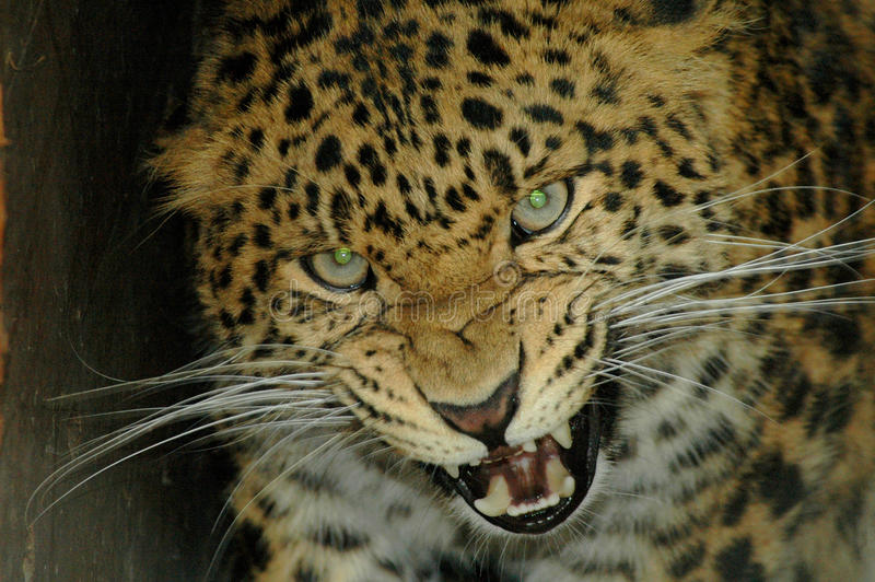 Download North Chinese Leopard (Panthera Pardus Japonensis) Stock Image - Image: 15182869