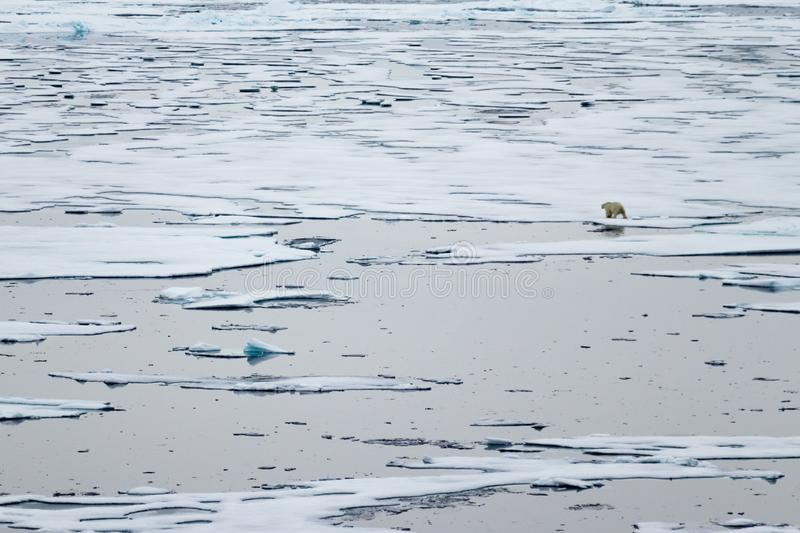 North Ice edge at 82 41.01 degrees North with a polar bear walking in the background stock photo