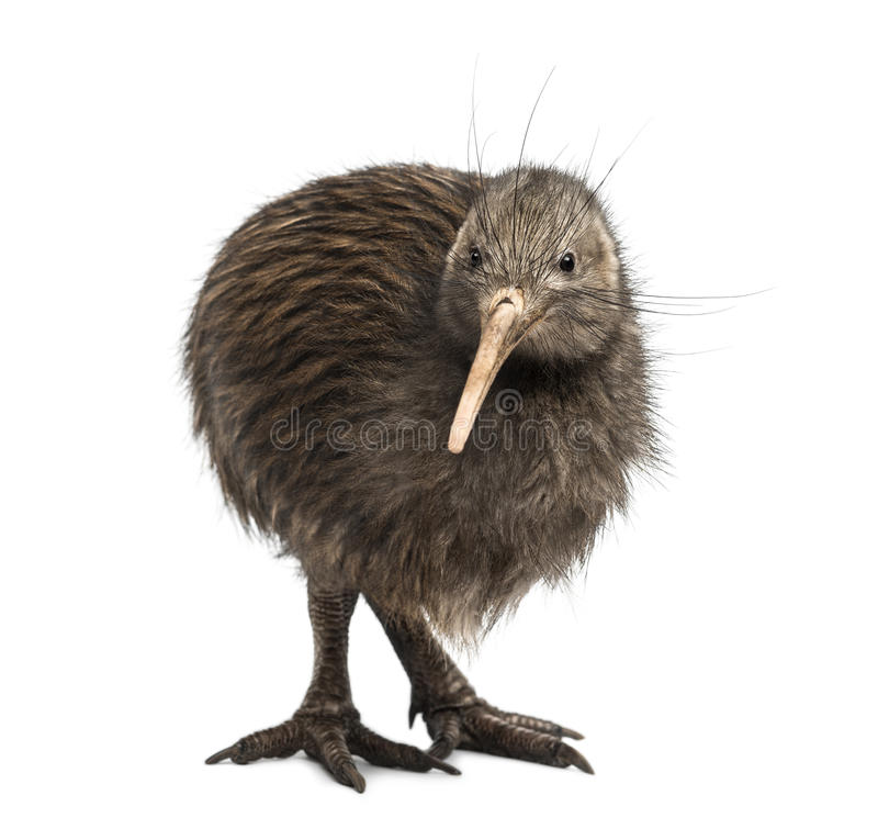 North Island Brown Kiwi, Apteryx mantelli royalty free stock images