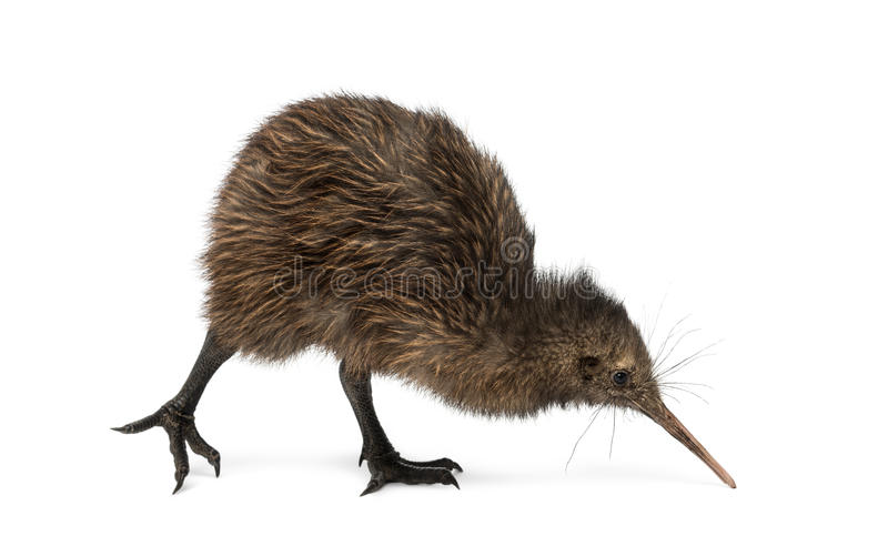 North Island Brown Kiwi, Apteryx mantelli, 3 months old stock images