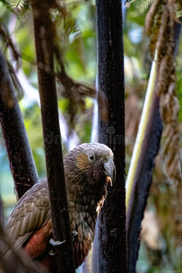 North Island Kaka chilling out in an aviary royalty free stock photo