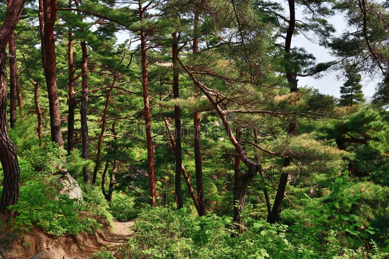 North Korean scenery. Red korean pine forest. North Korea. Mt. Kumgang biosphere reserve. Lagoon Samil. Amazing scenery. A trekking path between trunks of the stock photography