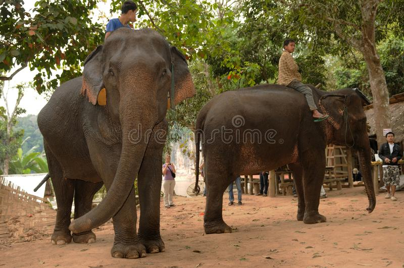 North-Laos: Elephants ready for a tourist safari stock image
