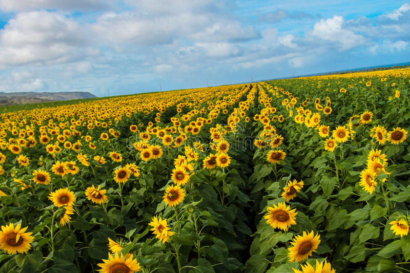 North Shore Sunflowers. Sunflower fields in the North Shore, Waialua, of Oahu royalty free stock images