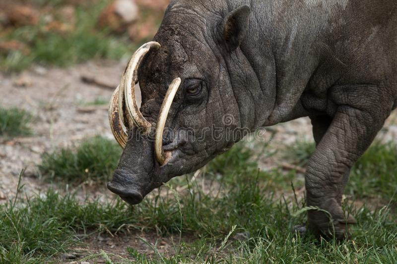 North Sulawesi babirusa, deer-pig, male royalty free stock photos