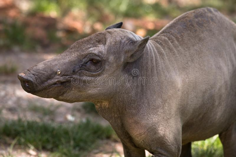 North Sulawesi babirusa, deer-pig, old female royalty free stock images
