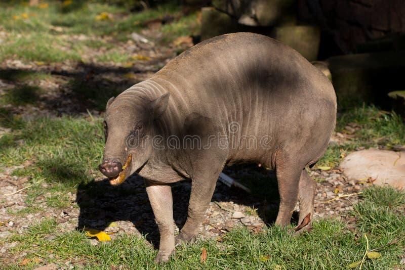 North Sulawesi babirusa. Endemic North Sulawesi mammal babirusa (Babiroussa celebensis) without tusk royalty free stock image