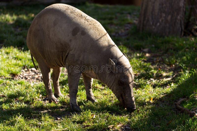 North Sulawesi babirusa. Endemic North Sulawesi mammal babirusa (Babiroussa celebensis) without tusk royalty free stock images