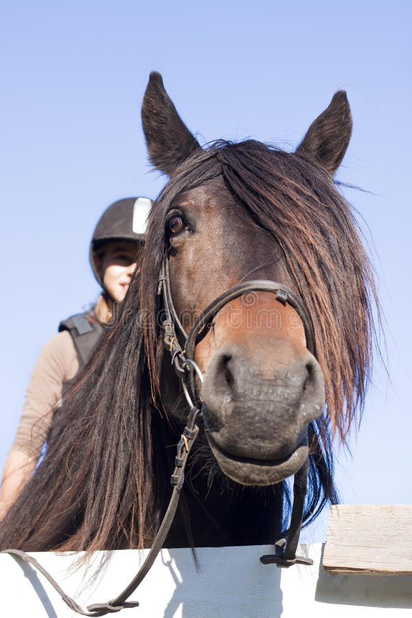 North Swedish Horse with girl royalty free stock images