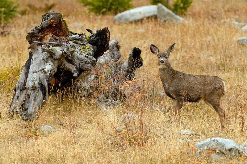 North West White Tailed Deer Odocoileus virginianus in the wil stock photography