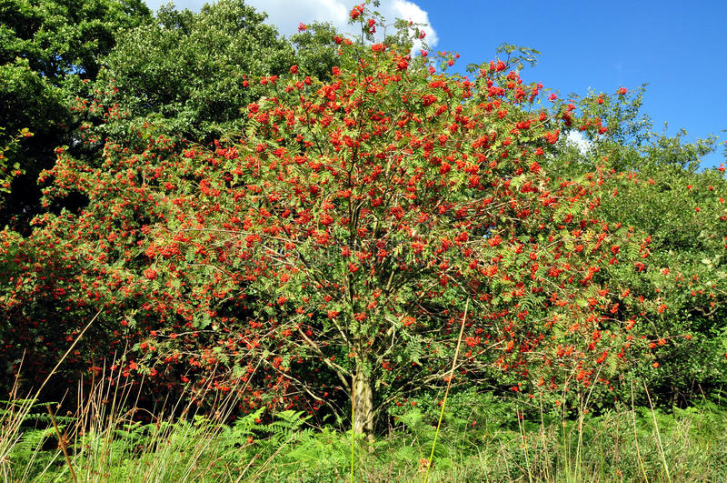North Yorkshire moors England. Mountain ash or rowan tree with red berries royalty free stock image