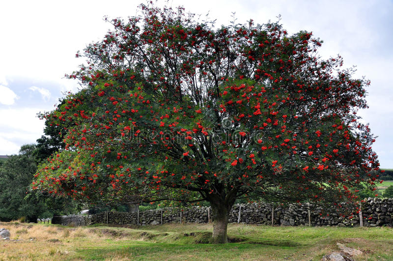 North Yorkshire moors England. Rowen tree or mountain ash with red berries royalty free stock image