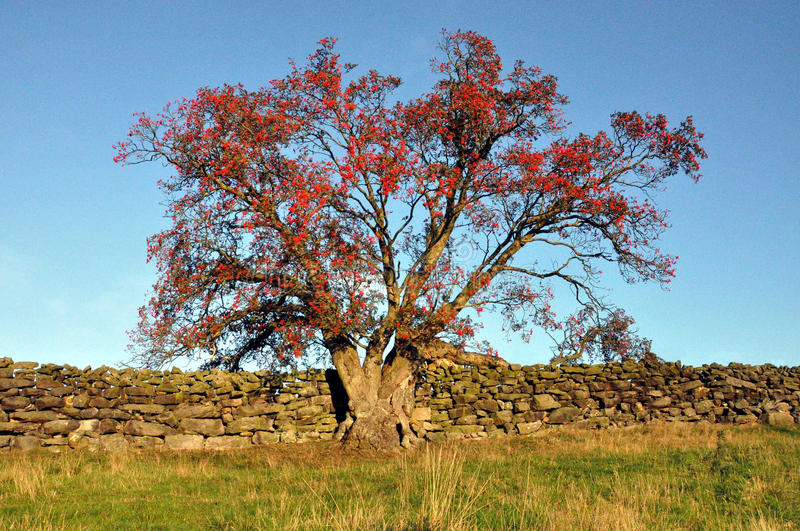 North Yorkshire moors England. Rowen tree or mountain ash with red berries in the evening light stock photography