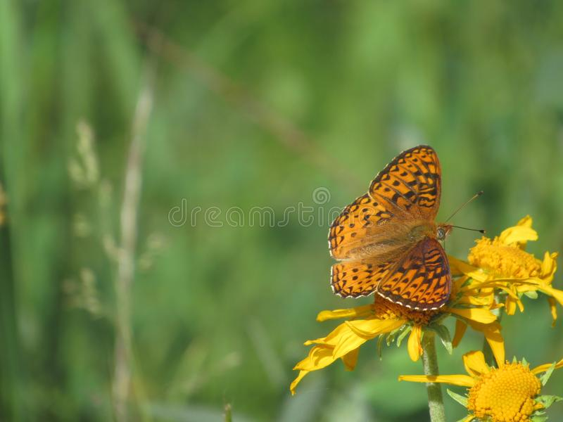 Northeast butterfly royalty free stock photo