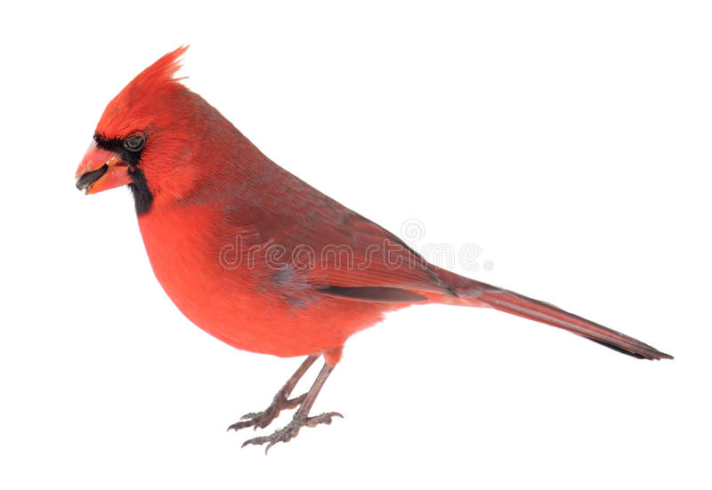 Norther Cardinal, Cardinalis cardinalis. Male northern cardinal, Cardinalis cardinalis, with a seed in its beak isolated on white royalty free stock photo