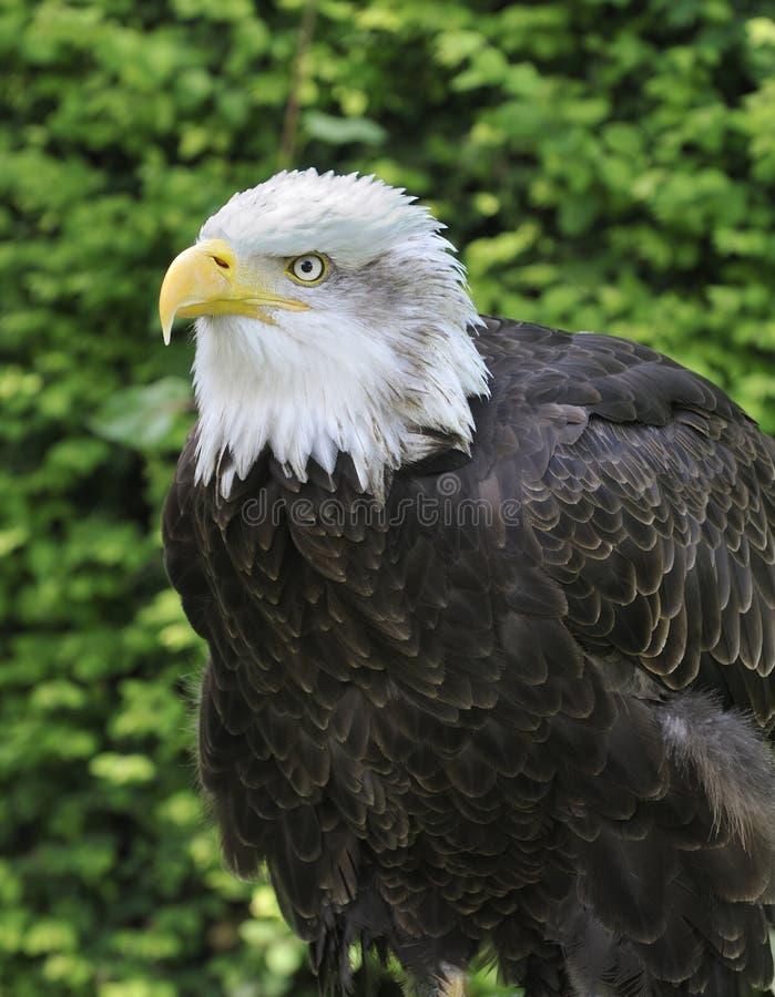 Northern or Alaskan Bald Eagle stock photo