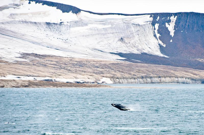 Northern Arctic landscape with breaching Humpback whale in foreground royalty free stock photos
