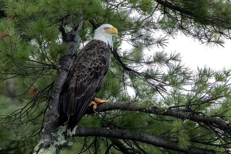Northern Bald Eagle in green pine royalty free stock photography
