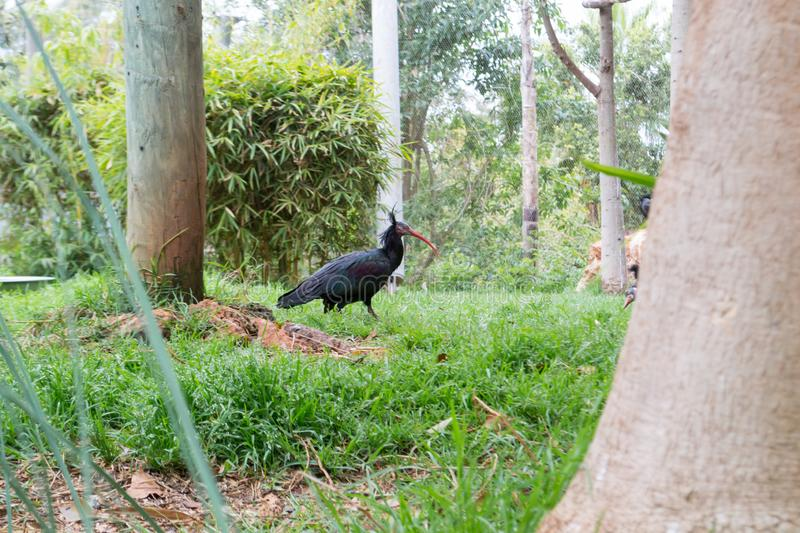 Black Ibis bird in Moroccan zoo royalty free stock photos
