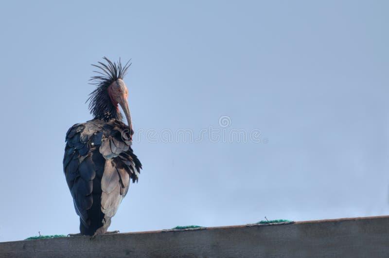 Northern Bald Ibis Or Waldrapp Stock Image