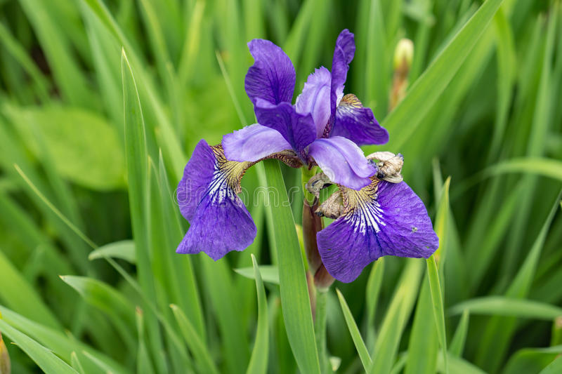 Northern Blue Flag - Iris versicolor. The Northern Blue Flag Iris grows in wet meadows and lake shores in the mountains from Que. to VA royalty free stock photos