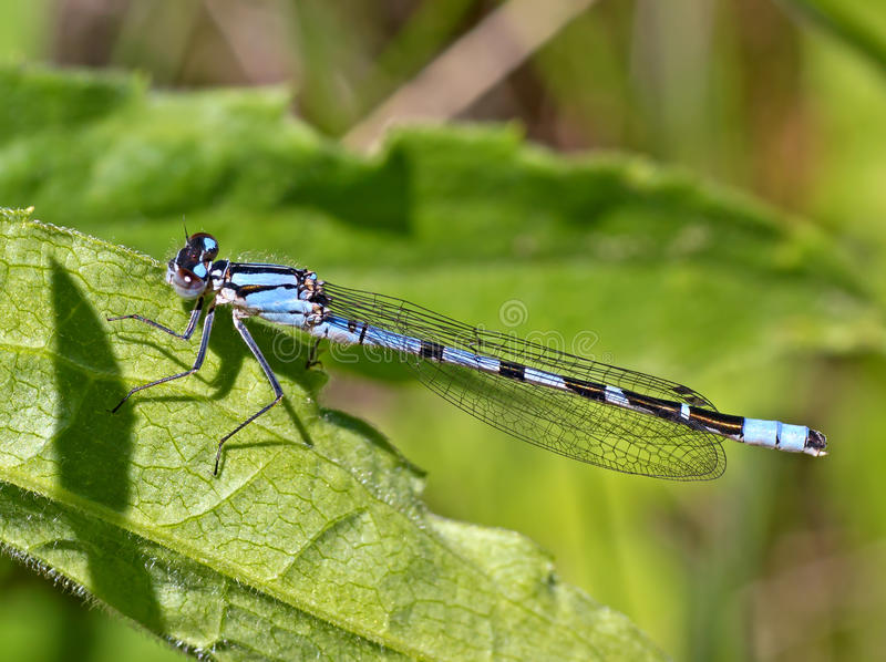 Download Northern Bluet Damselfly stock photo. Image of enallagma - 31925640