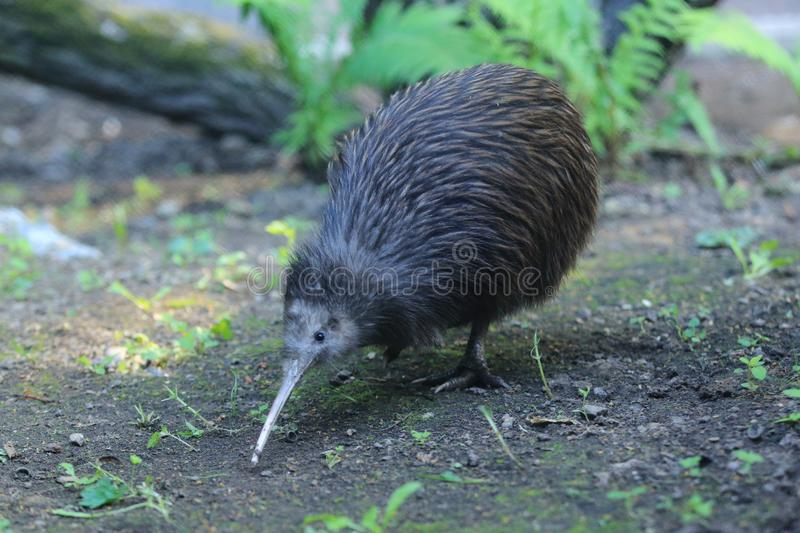 Northern brown kiwi royalty free stock photography