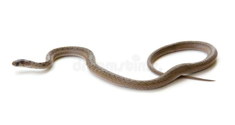 Northern Brown Snake. (Storeria dekayi dekayi) isolated on white stock photo
