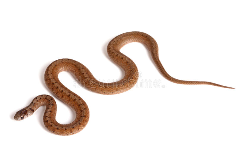 Northern brown snake on a white background. An adult Northern brown snake (Storeria dekayi) forms some S-shaped curves on a white background stock images