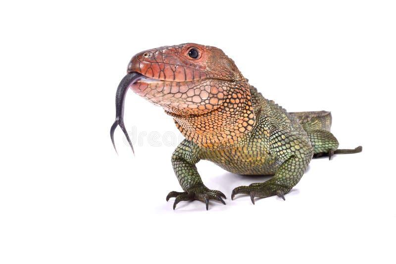 Northern caiman lizard, Dracaena guianensis royalty free stock photos