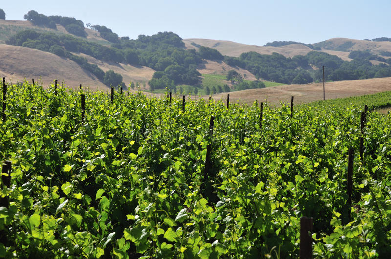 Northern California vinyard. Vinyard with northern California mountains in the background stock photos