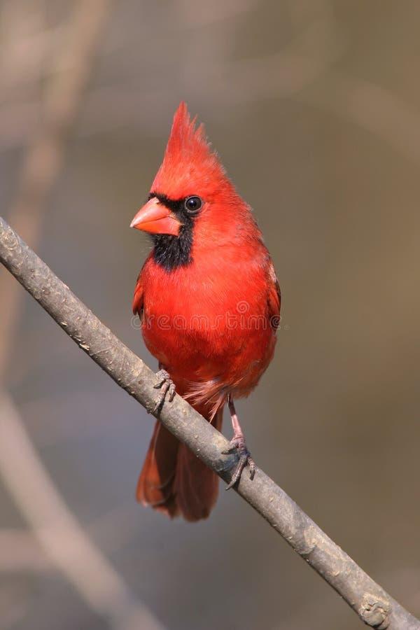Download Northern Cardinal stock photo. Image of redbird, crest - 16070398