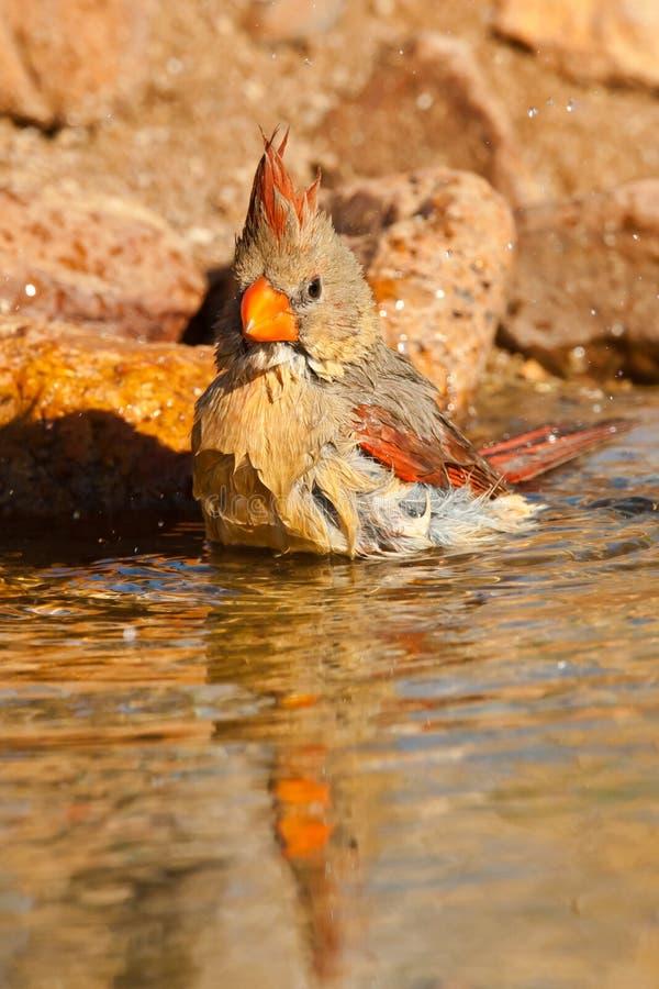 Download Northern Cardinal stock photo. Image of washing, pond - 24341388