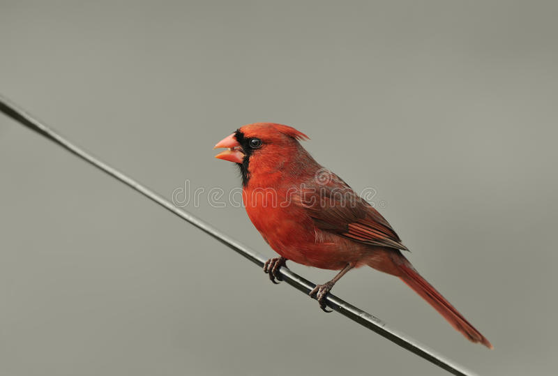 Download Northern Cardinal stock photo. Image of american, bird - 26643152