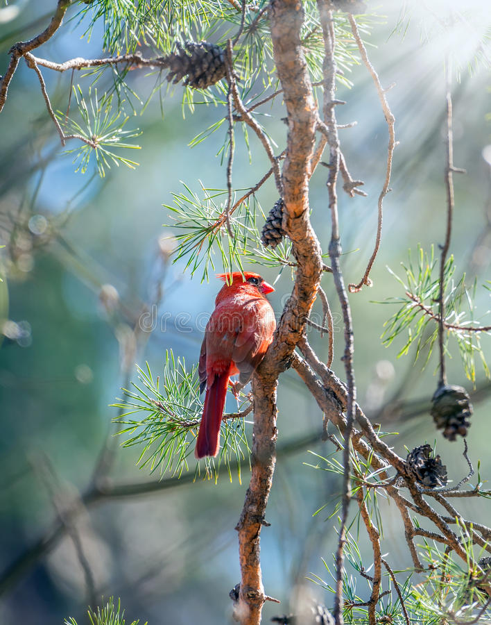 Northern Cardinal basking in the sunlight in a pine tree during stock images