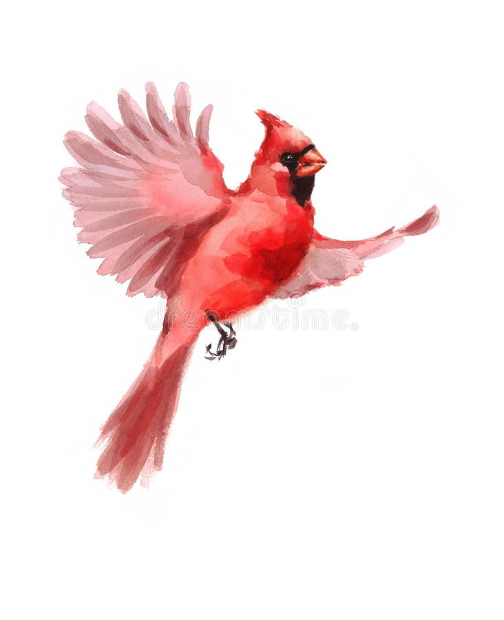 Northern Cardinal Bird Flying Watercolor Winter Illustration Hand Drawn. Hand drawn Watercolor illustration of Flying Male Northern Cardinal isolated on white royalty free illustration