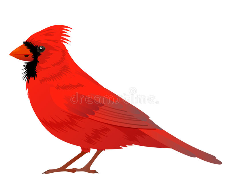 Northern Cardinal bird. On a white background. Vector illustration stock illustration