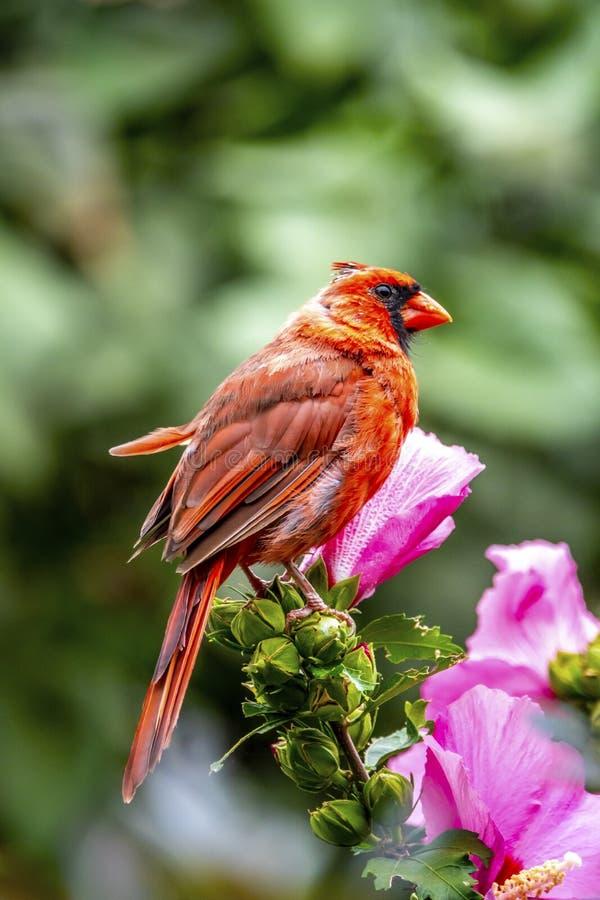 Northern cardinal ,Cardinalis cardinalis. Is a bird in the genus Cardinalis; it is also known colloquially as the redbird, common cardinal stock images