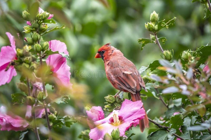 Northern cardinal ,Cardinalis cardinalis. Is a bird in the genus Cardinalis; it is also known colloquially as the redbird, common cardinal stock image