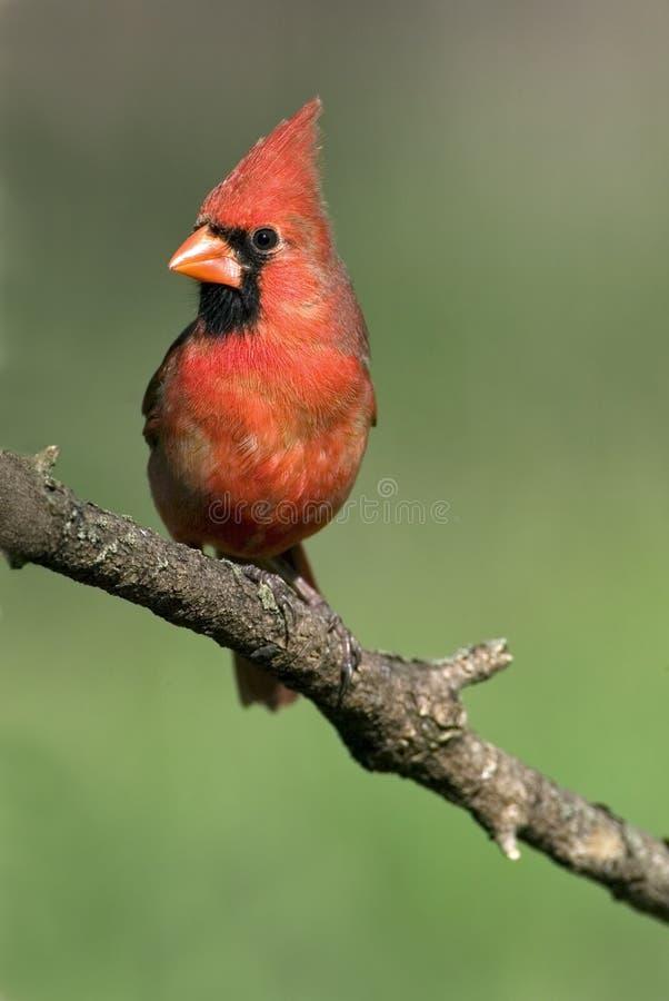 Download Northern Cardinal (Cardinalis Cardinalis) Stock Photo - Image: 25769364
