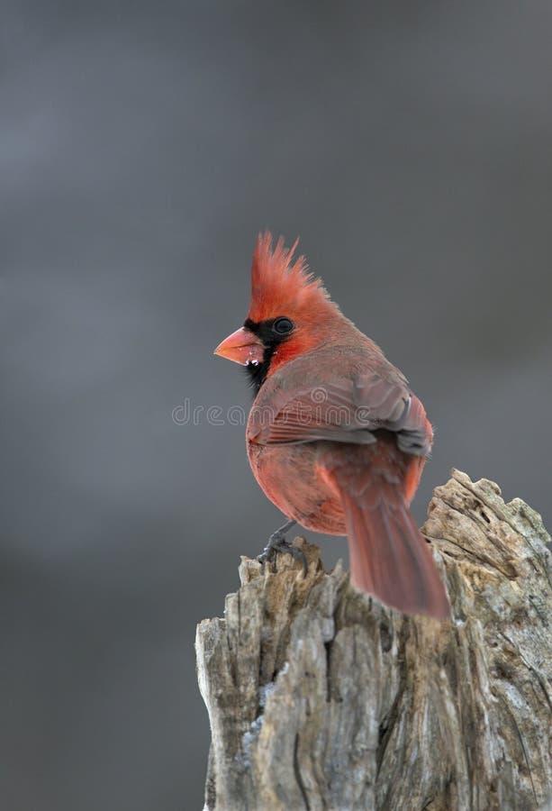 Download Northern Cardinal (Cardinalis Cardinalis) Stock Photo - Image: 28882568
