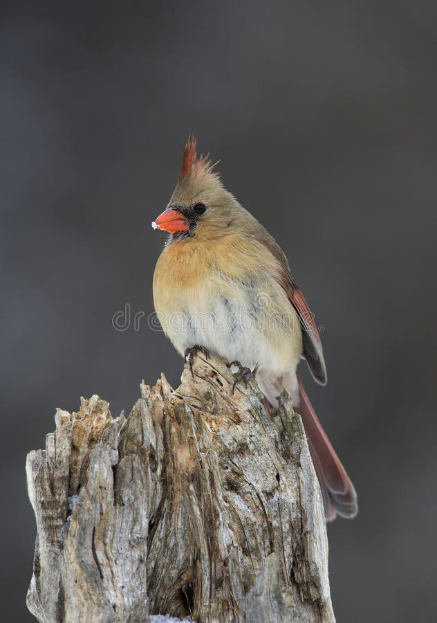 Download Northern Cardinal (Cardinalis Cardinalis) Stock Image - Image: 28882719