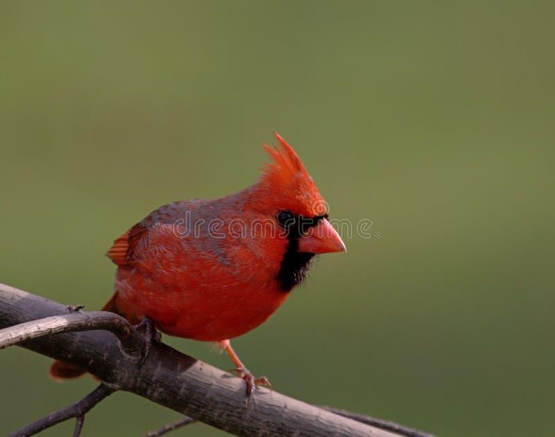 Northern Cardinal (cardinalis cardinalis). Male Northern Cardinal (cardinalis cardinalis) on a pine branch stock photography