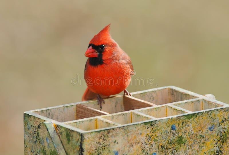 Northern Cardinal (cardinalis cardinalis). Male Northern Cardinal (cardinalis cardinalis) on a garden tool box stock photography