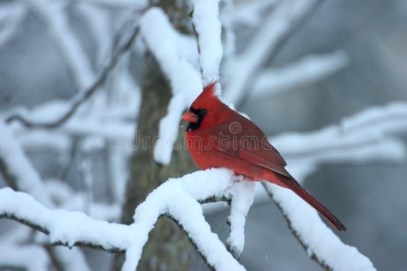Northern Cardinal - Cardinalis Cardinalis Royalty Free Stock Images