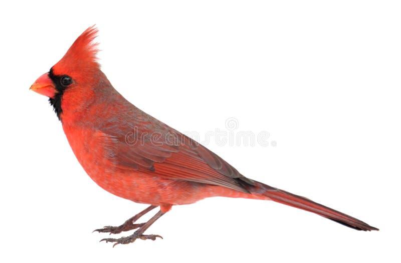 Northern Cardinal, Cardinalis cardinalis, Isolated. Male northern cardinal, Cardinalis cardinalis, isolated on white royalty free stock images