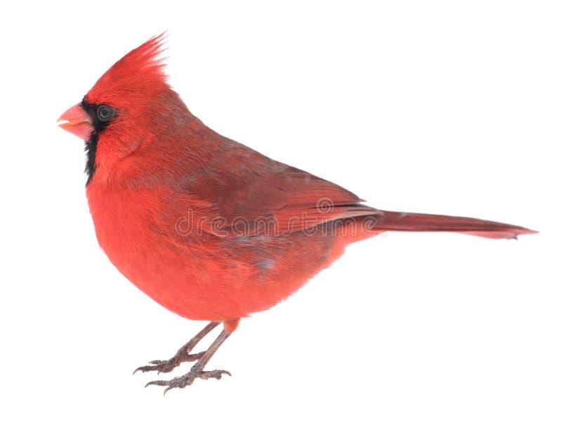 Northern Cardinal, Cardinalis cardinalis, isolated. Male northern cardinal, Cardinalis cardinalis, isolated on white royalty free stock photography